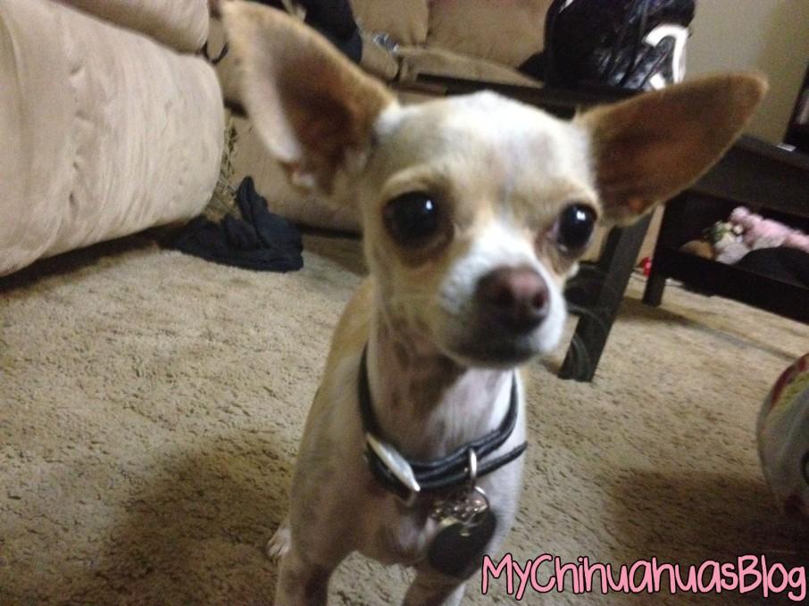 Neva- Tan and White Chihuahua