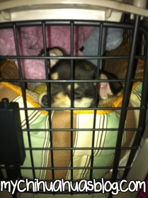 Charlee- Black and Tan Tricolor Chihuahua Puppy being Crate Trained
