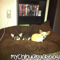 Char and Neva Chihuahuas