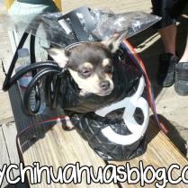 Purse Chihuahua