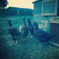 Barred rock and rhode island red chickens.