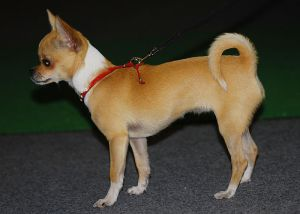 Chihuahua Breed Standard