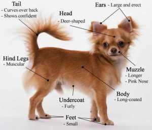 AKC Chihuahua Breed Standard
