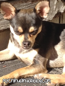 Charlee- Black and Tan Tricolor Chihuahua