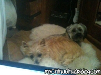 Chloee and Katee Cairn Terriers