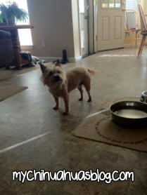 Chloee Cairn Terrier