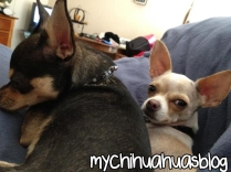 Neva and Charlee Chihuahuas