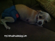 Chihuahua wearing diaper