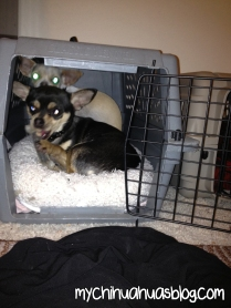 Crate Trained Chihuahuas