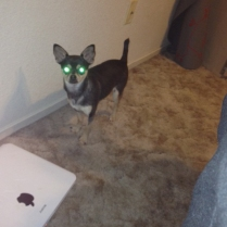 Laser Eyes Chihuahua