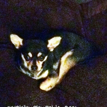 Cutest Chihuahua