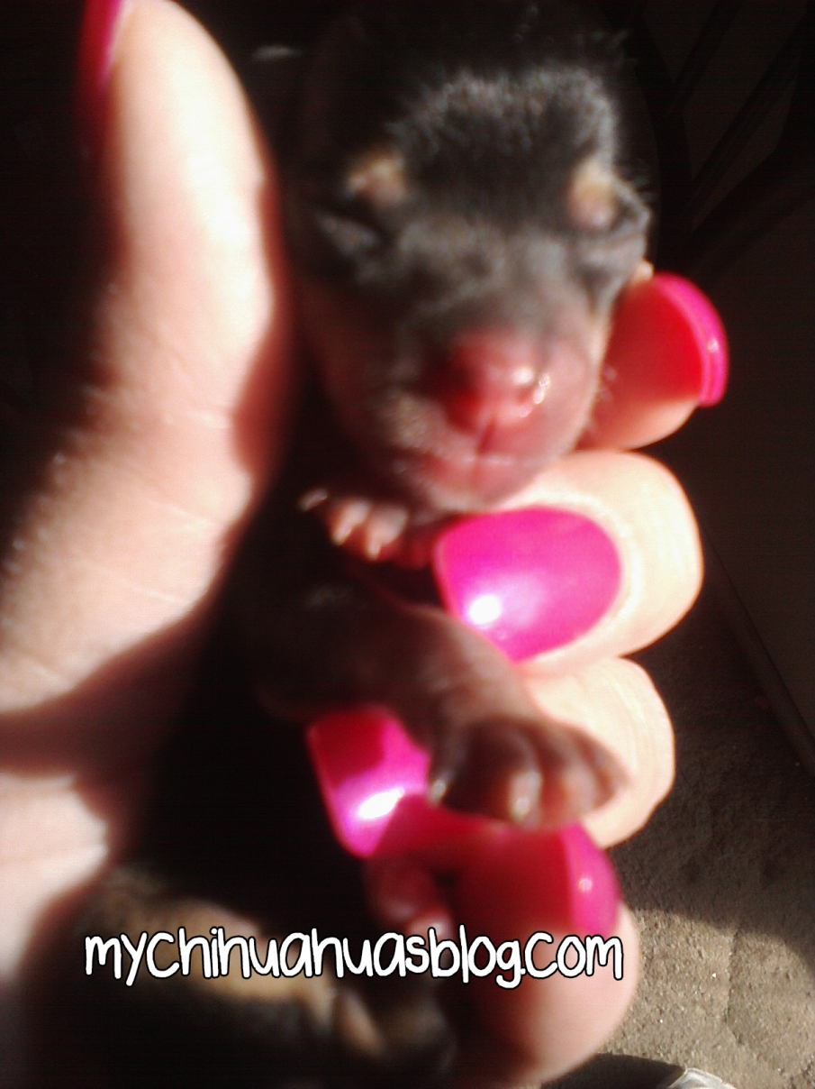Charlee Baby Chihuahua Just Born