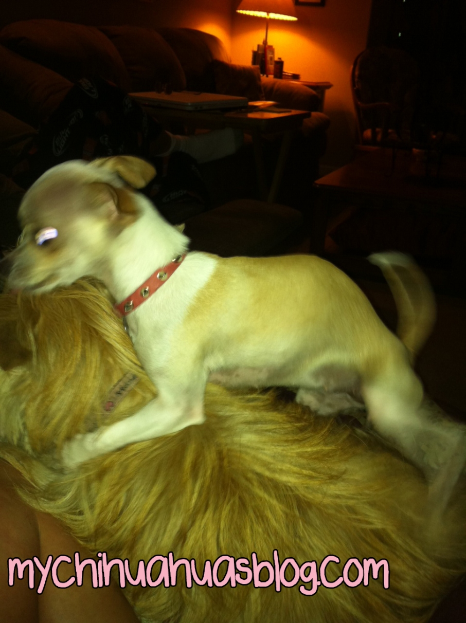 Chihuahua humping Cairn Terrier
