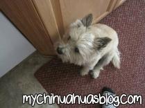 Stanlee Cairn Terrier