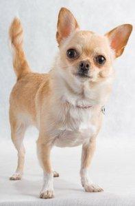 Such a cutest little Chihuahua!