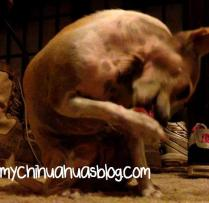 Chihuahua Cleaning Like a Cat
