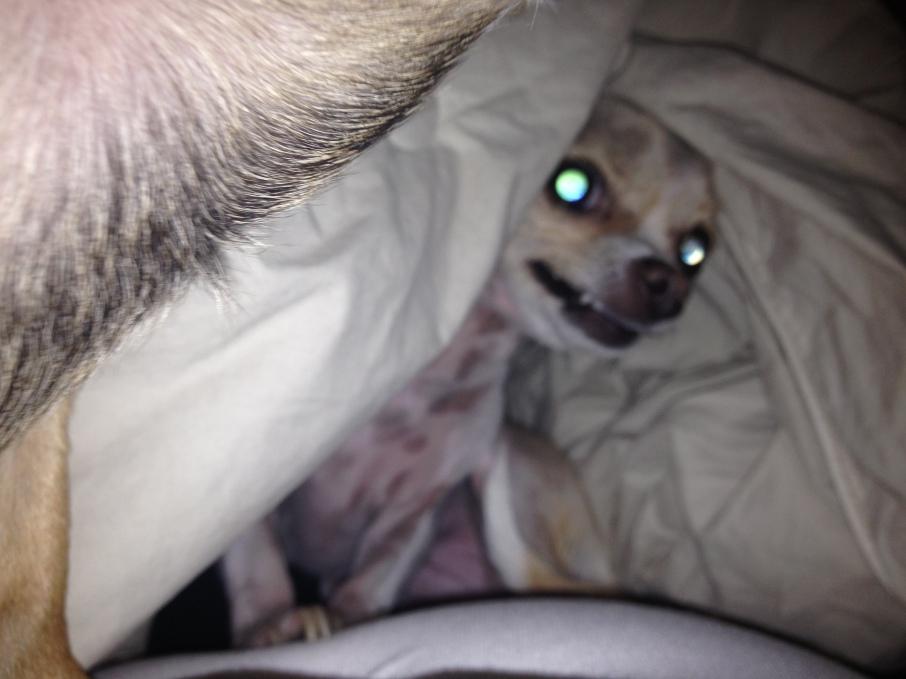 Demon Face Chihuahua