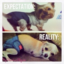 Chihuahua diapers expectation vs reality