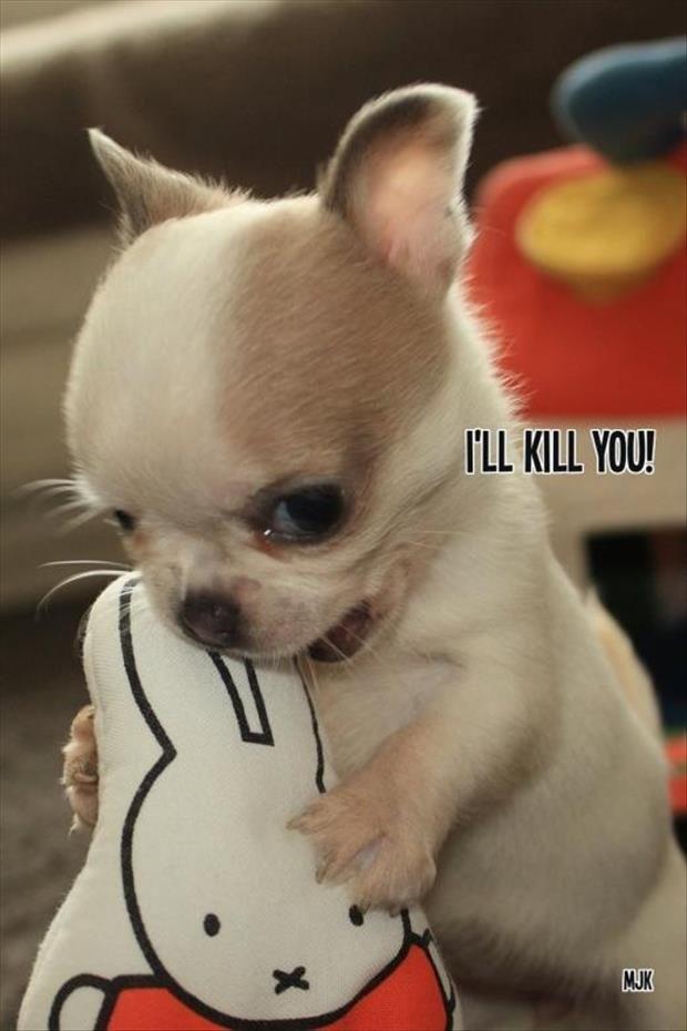 "Vicious Chihuahua meme ""I'll Kill You"""