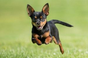 Happy Chihuahua running in grass!